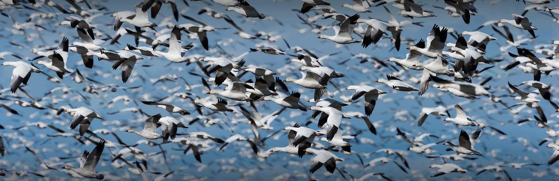 Missouri Snow Goose Hunting - Guided Snow Goose Hunts