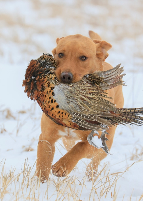 Pheasant Hunt Packages (FRI,SAT,SUN)